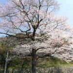 定光寺公園へ桜見に出かけよう